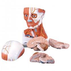 Musculature de la tête, 5 parties