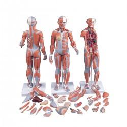 Modele musculaire homme-femme avec organes internes en 33 parties