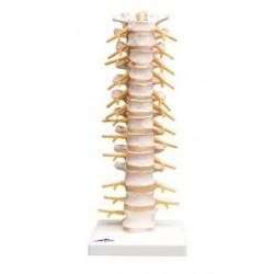Colonne vertébrale thoracique