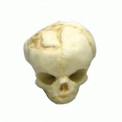 Modèle de crâne de foetus de 17 semaines
