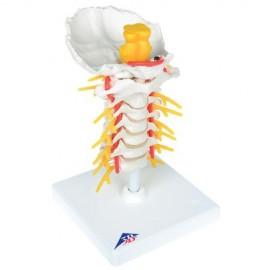 Colonne vertébrale cervicale
