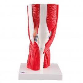 Articulation du genou, en 12 pièces