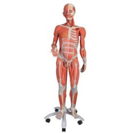 Modèle Anatomique Musculaire bisexué Deluxe, en 45 parties