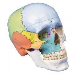 Crâne didactique coloré en 3 parties