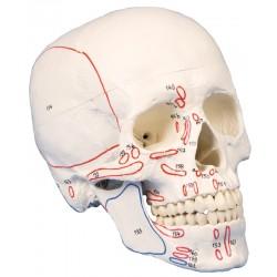 Modèle de crâne en trois parties avec marquage musculaire