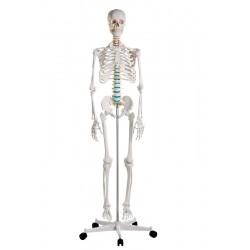 Squelette du corps humain