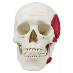 Crâne avec muscles masticateurs, 3 parties