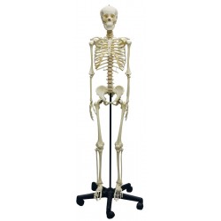 Squelette modèle adolescent