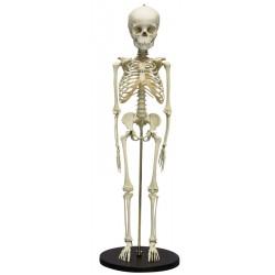 Squelette modèle enfant