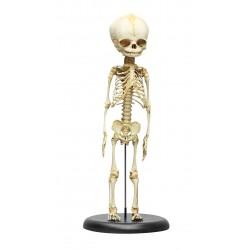 Squelette modèle fœtus 30...