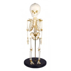 Squelette modèle enfant 14 à 16 mois