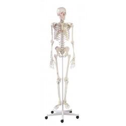 Squelette modèle adulte Arnold