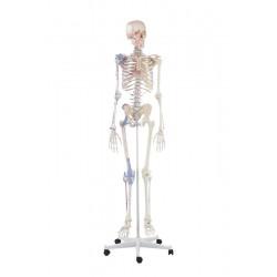 Squelette adulte Bert avec marques musculaires et ligaments