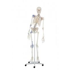 Squelette Toni avec colonne vertébrale mobile et ligaments