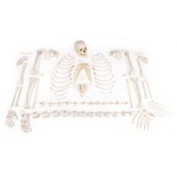 Squelette non assemblé