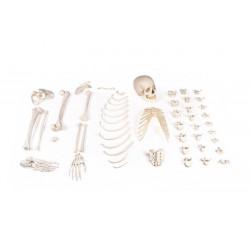 Moitié de squelette non assemblé