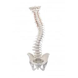 Colonne vertébrale avec pelvis