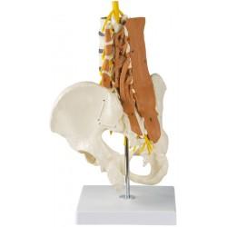 Pelvis, colonne lombaire et muscles lombaires