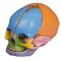 Crâne didactique fœtus 38 semaines