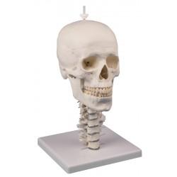 Modèle crâne 3 parties avec colonne cervicale et support crâne
