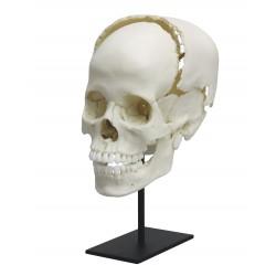 Crâne articulé