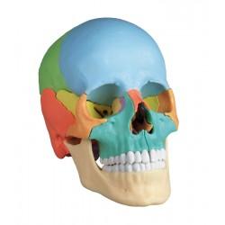 Crâne ostéopathique 22 parties