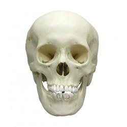 Crâne adolescent masculin