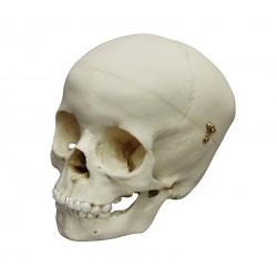 Crâne modèle enfant âgé de 5 ans