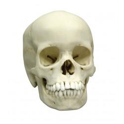 Crâne humain modèle 13 ans