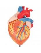 Retrouvez nos produits liés à l'anatomie: les organes pour des entraînements en grandeur nature